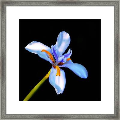 Lily In Blue Framed Print by Lyle  Huisken