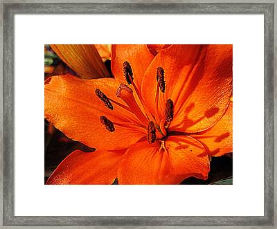 Lily In Evening Sun Framed Print