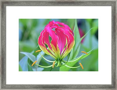 Lily In Flames Framed Print