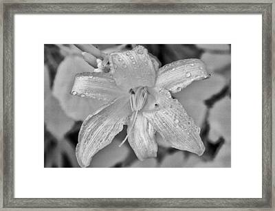 Lily In Infrared Framed Print