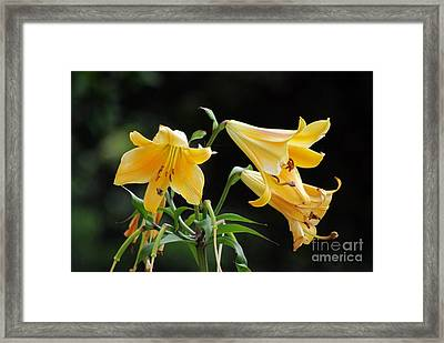 Lily Lily Where Art Thou Lily Framed Print