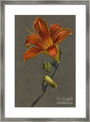 Lily Framed Print by Louise D'Orleans
