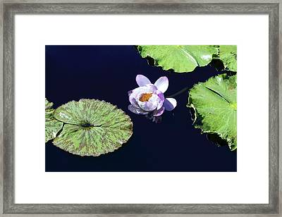 Framed Print featuring the photograph Lily Love II by Suzanne Gaff