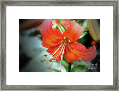 Lily Love Framed Print