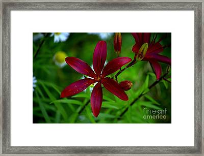 Lily Maroon Framed Print by The Stone Age