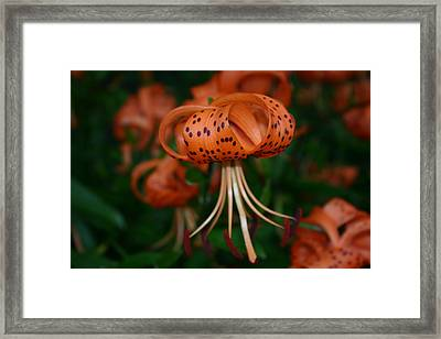 Lily Framed Print by Martina Fagan