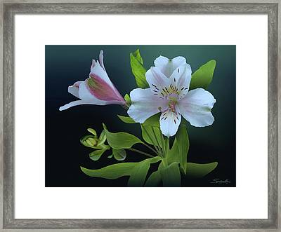 Lily Of The Incas Framed Print