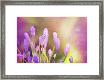 Lily Of The Nile Buds In Summer  Framed Print