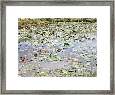 Lily Pad Pond 1 Framed Print