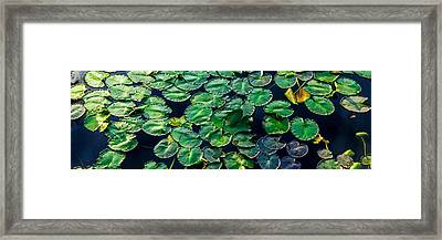 Lily Pads On Blue Framed Print by Geoff Mckay