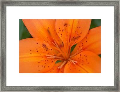 Lily Framed Print by Paul Gavin