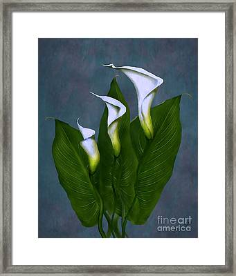 White Calla Lilies Framed Print by Peter Piatt