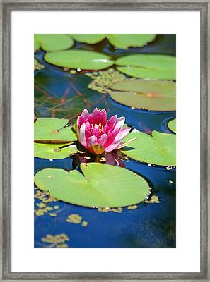 Lily Pond Framed Print by Donna Bentley