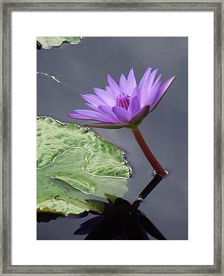 Lily Pond Framed Print by Eric  Schiabor