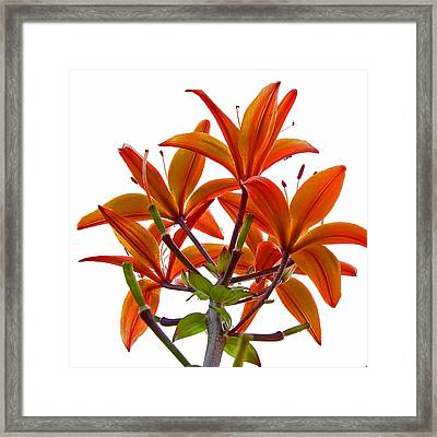 Lily Framed Print by Robert Knight
