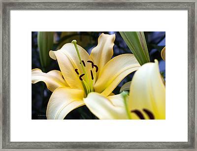 Lily Splendor Framed Print