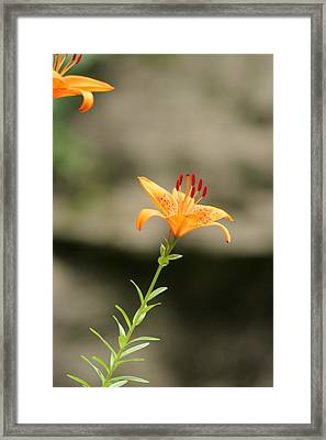 Lily Stands Alone Framed Print by ShadowWalker RavenEyes Dibler