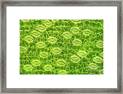 Lily Stomata, Darkfield Microscopy Framed Print by M. I. Walker