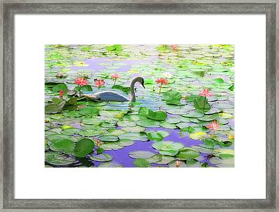 Lily Swan Framed Print