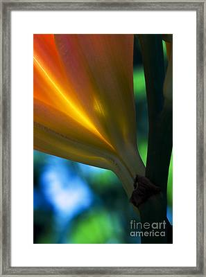 Lily Torchere Framed Print by Shawn Young