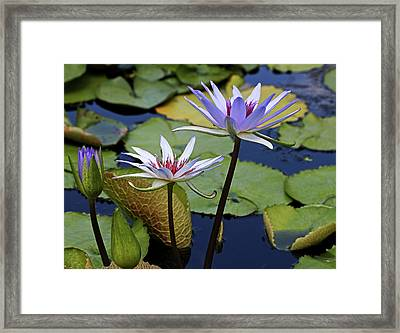 Framed Print featuring the photograph Lily Trio by Judy Vincent
