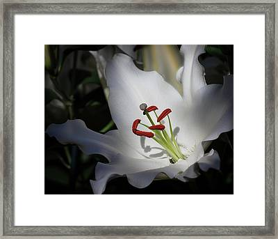 Framed Print featuring the photograph Lily White by Robert Pilkington