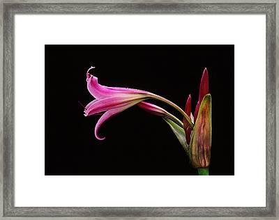 Lily X Framed Print by Bijan Pirnia