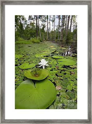 Lilypads And Flower In The Cypress Swamp Framed Print