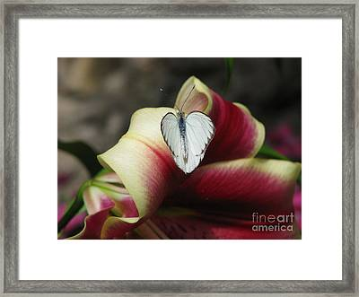 Lily's Lover Framed Print