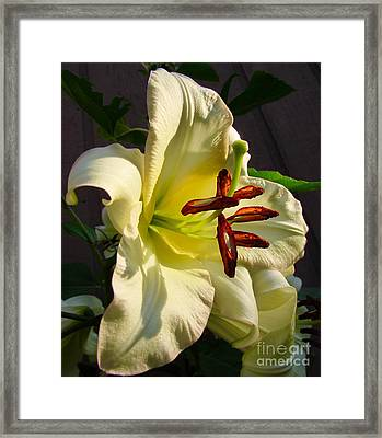 Lily's Morning Framed Print by Pamela Clements