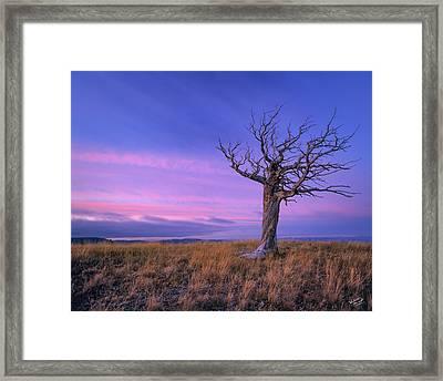 Limber Pine Framed Print by Leland D Howard