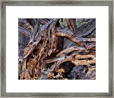 Limber Pine Roots Framed Print