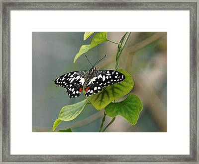 Framed Print featuring the photograph Lime/chequered Swallowtail Butterfly by Paul Gulliver