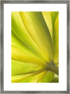 Lime Tulip Framed Print