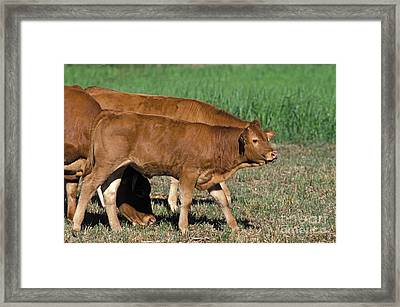 Limousin Framed Print by Gerard Lacz