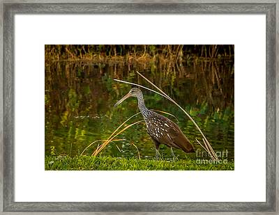 Limpkin At Water's Edge Framed Print by Tom Claud
