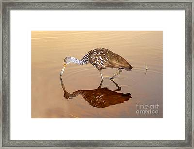Limpkin In The Mirror Framed Print by David Lee Thompson
