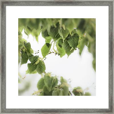Linden In The Rain 2 -  Framed Print