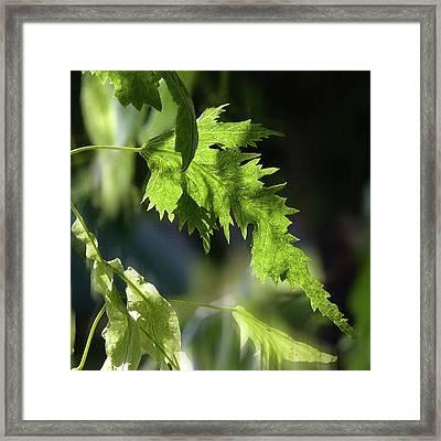 Linden Leaf - Framed Print