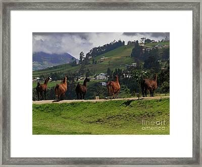 Line-dancing Llamas At Ingapirca Framed Print by Al Bourassa