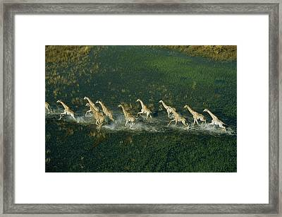 Line Of Galloping Giraffes Framed Print by Bobby Haas