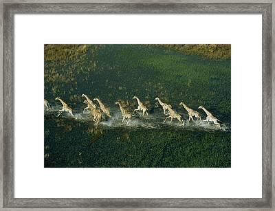 Line Of Galloping Giraffes Framed Print