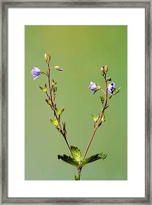 Lino Framed Print by Iskander Barrena Zubiaur