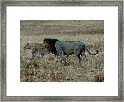 Lion And Pregnant Lioness Walking Framed Print