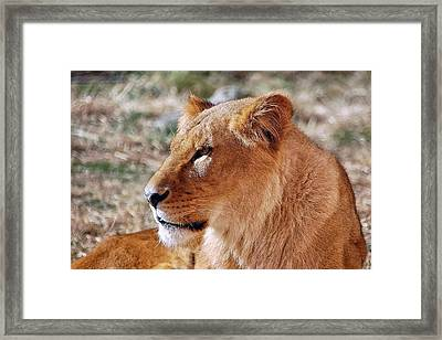 Lion Around Framed Print