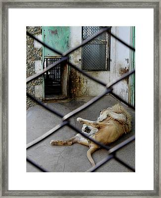 Lion At Zoo Framed Print by Tianxin Zheng
