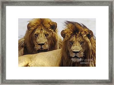 Lion Brothers - Serengeti Plains Framed Print