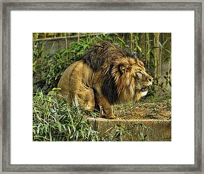 Lion Calling Females Framed Print by Keith Lovejoy