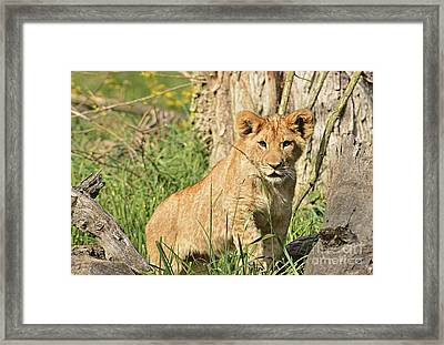 Lion Cub 2 Framed Print