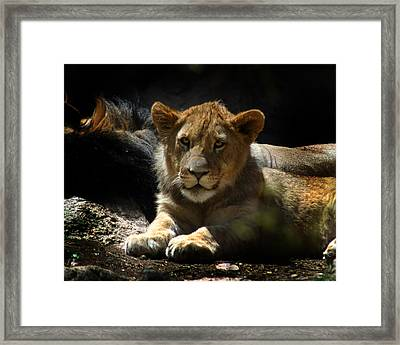 Lion Cub Framed Print by Anthony Jones